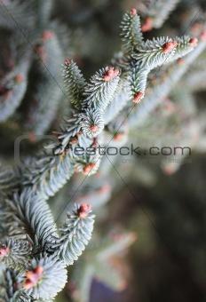 Close up of Araucaria araucana