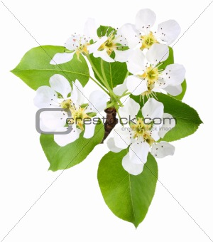 Branch of apple tree with leaf and flowers