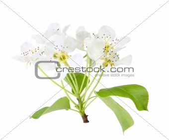 Branch of apple tree with leaf and white flowers