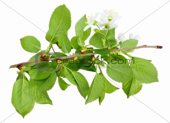 Branch of plum tree with green leaf and flowers