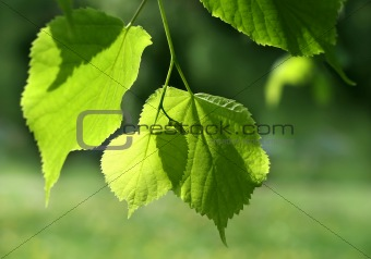 fresh green spring leaves