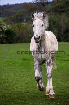 Running grey horse