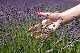 hand brushing lavender flowers