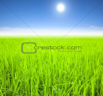 green rice field on the summer morning