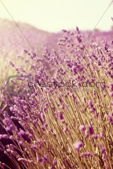 lavender field during senset