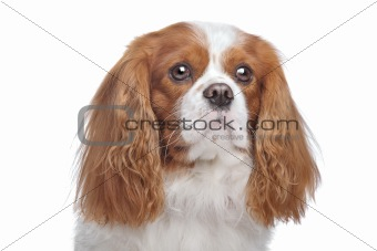 Cavalier King Charles Spaniel Blenheim