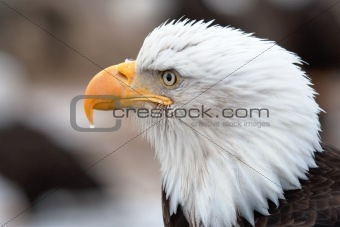 American Bald Eagle Head Shot