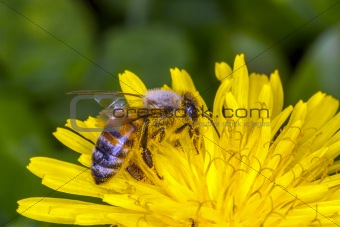 Bee apis mellifica