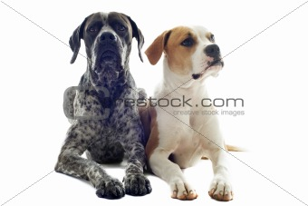 german shorthaired pointer and american bulldog