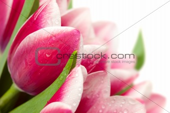 Pink tulips with water drops on white background / copy space fo