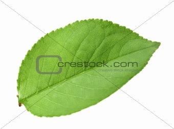 Single green leaf of apple-tree