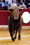 front bull