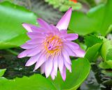 Blooming pink lotus flower