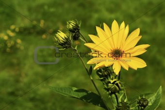 Yellow Daisy