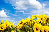 yellow pansy flowers against blue sky