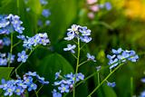 Forget-me-not flowers (Myosotis sylvatica).