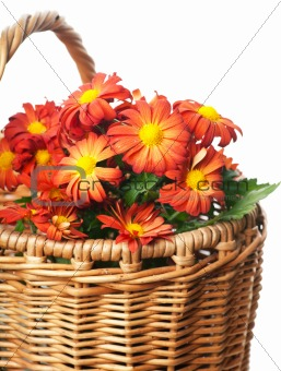 Chrysanthemum in a basket