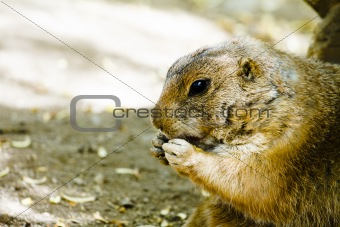 Ground hog eating 
