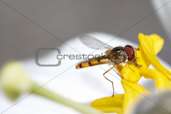 syrphyd fly