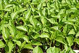 Seedlings of sweet pepper plants
