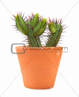 cactus isolated