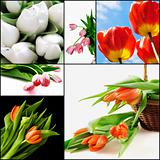 Red and white tulips as a natural background