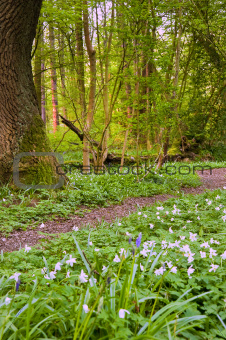 Beautiful fresh Spring bluebell woods with white anomones