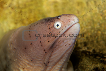 Geometric moray eel