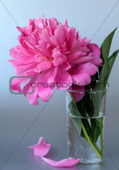 beautiful pink peony flower on a gray background