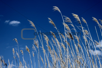 Sedge against cloudy sky