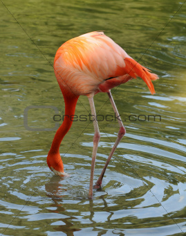 Flamingo feeding