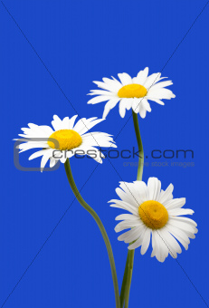 White chamomiles isolated on blue background