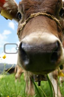 A curious calf