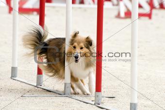 shetland in agility