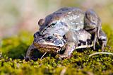Frog mating time in spring.