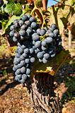 Grapes for Cote Rotie