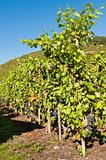 Row of Grape Vines