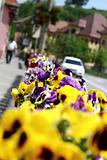 city pansies