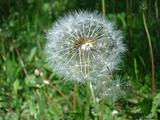 Dandelion fluffy seeds