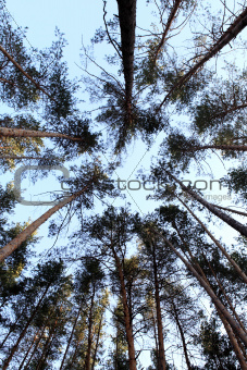 Tops of the pines in the forest