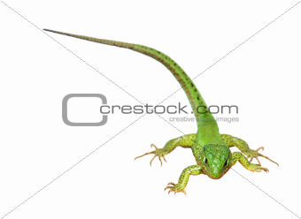 Green lizard on the white background (Lacerta viridis)