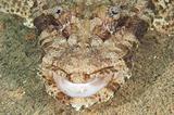 Closeup of crocodilefish head