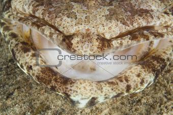 Closeup detail of crocodilefish mouth