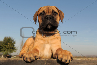 puppy Bull Mastiff