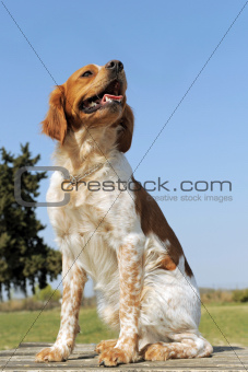 brittany spaniel