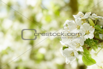 Blossoming flower in spring with very shallow focus