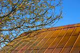 Blooming walnut tree over old roof