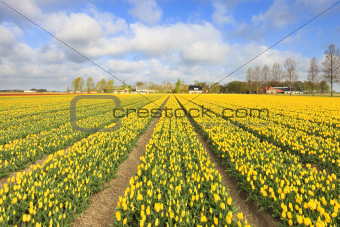Tulips in a field in Holland in summer