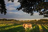 Cow grazing in a green field in summer