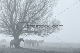 Horses in a field in the fog